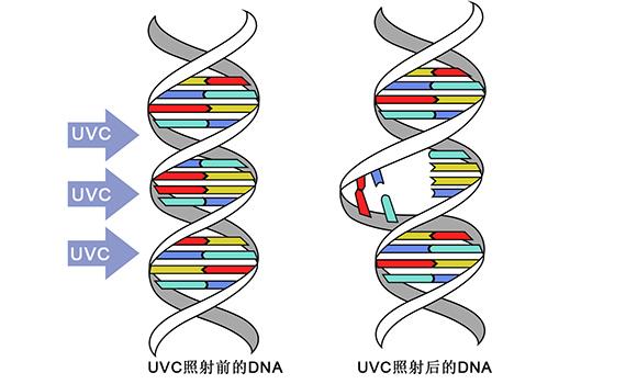 紫外线DNA